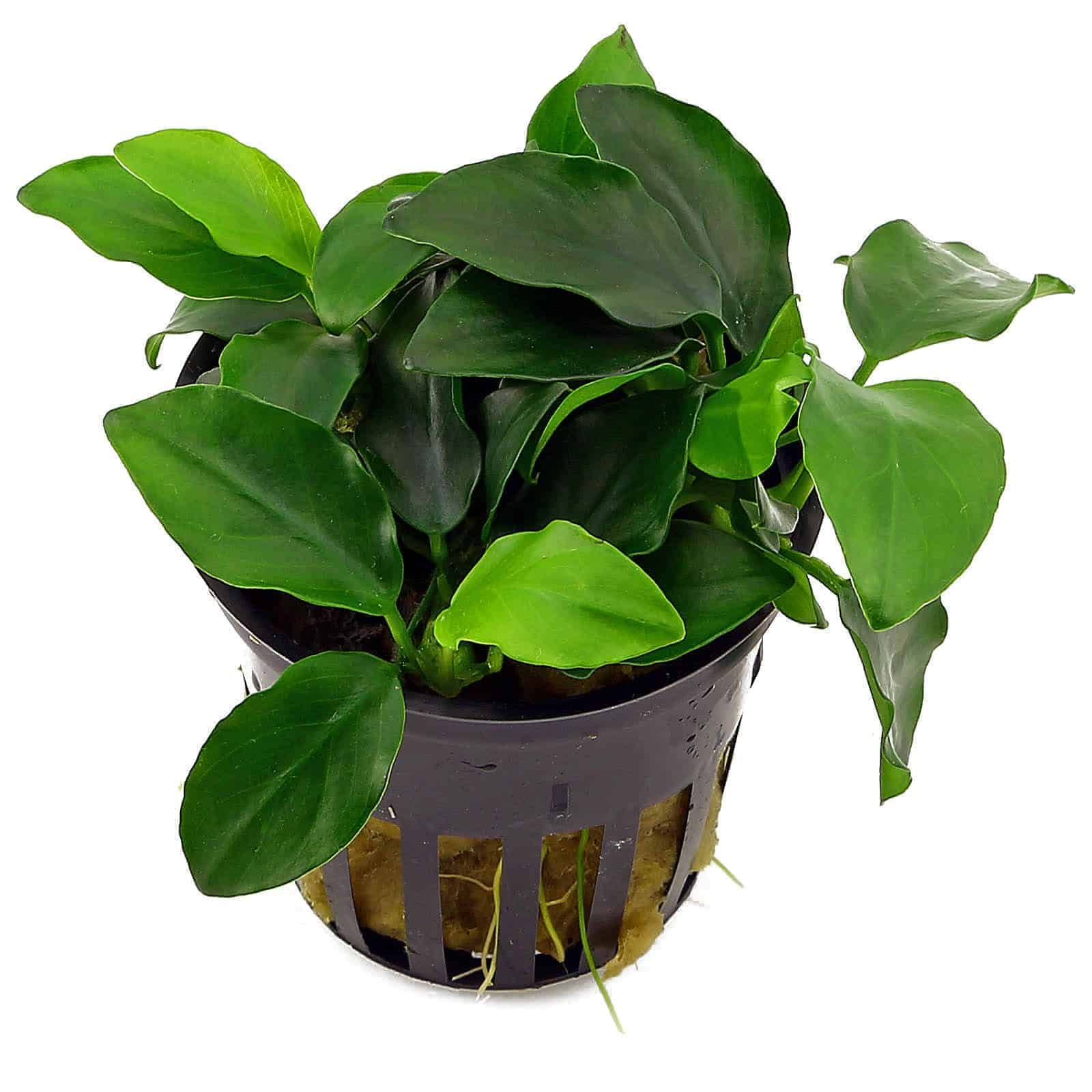 Low light plants - Anubias