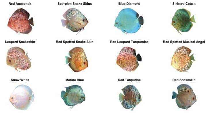 Discus Fish Types