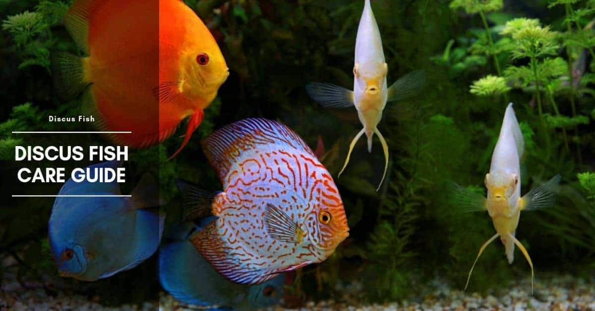 Discus Fish Types, Care, Facts, and Natural Habitat
