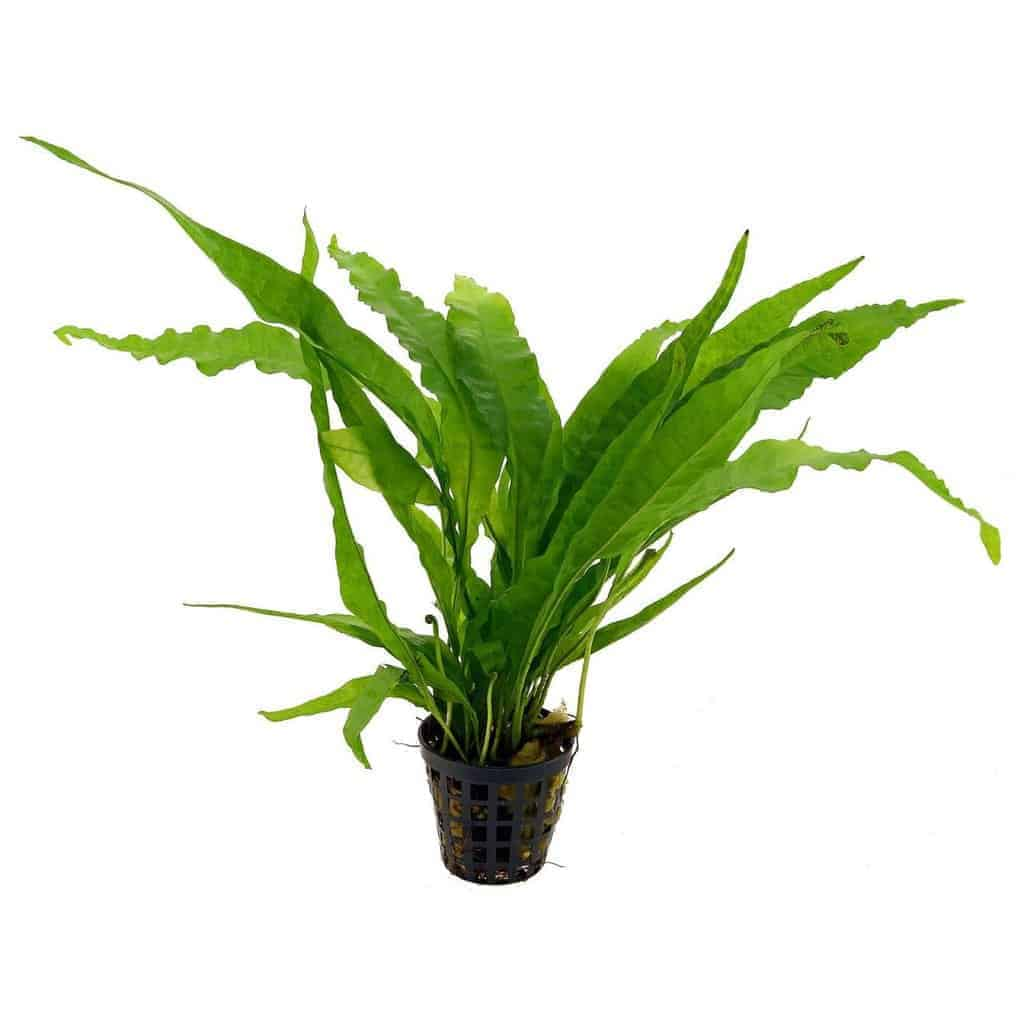 Low light aquarium plants - Java Fern