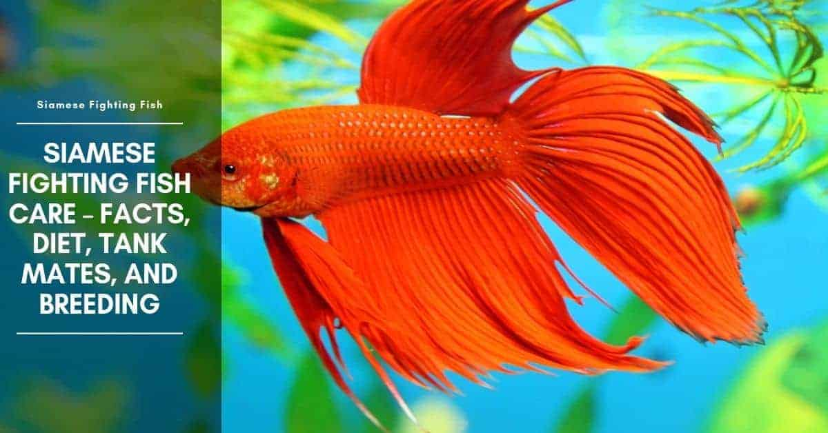 Siamese Fighting Fish Facts – Tank Mates, Diet, and Care