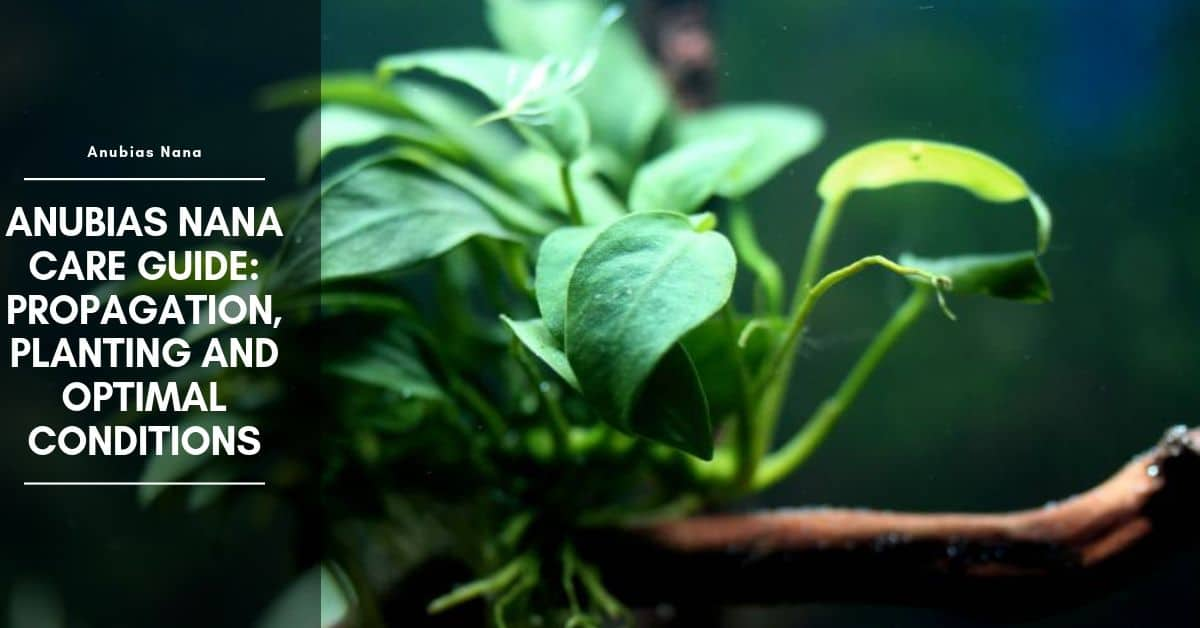 Anubias Nana Care Guide: Propagation, Planting And Optimal Conditions