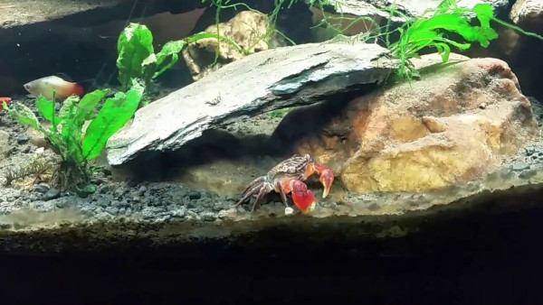 Red Crab in Tank