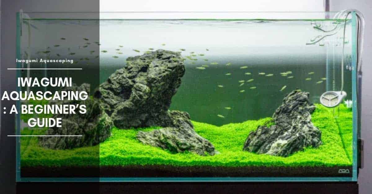 Best Fish for Iwagumi Tank: Aquascape, Tank Setup, Plants & Rocks
