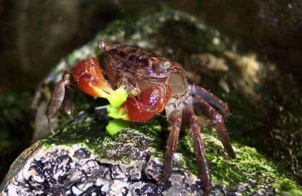 6 Freshwater Aquarium Crabs & Caring Guide | The Aquarium