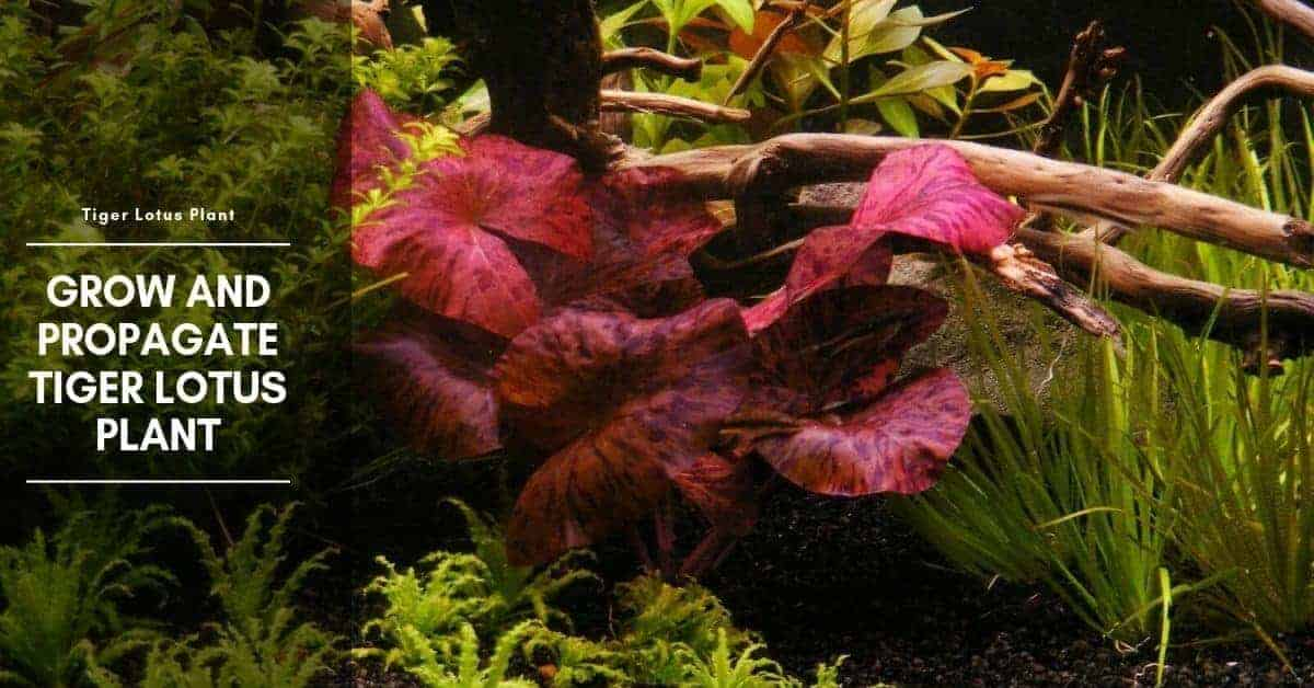 Tiger Lotus Aquarium Plant: Care for Red Tiger, Planting Bulb & Propagate