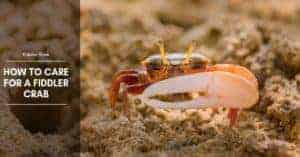 Fiddler Crab: Care, Food, Tank Mates, Habitat, and Tank Setup