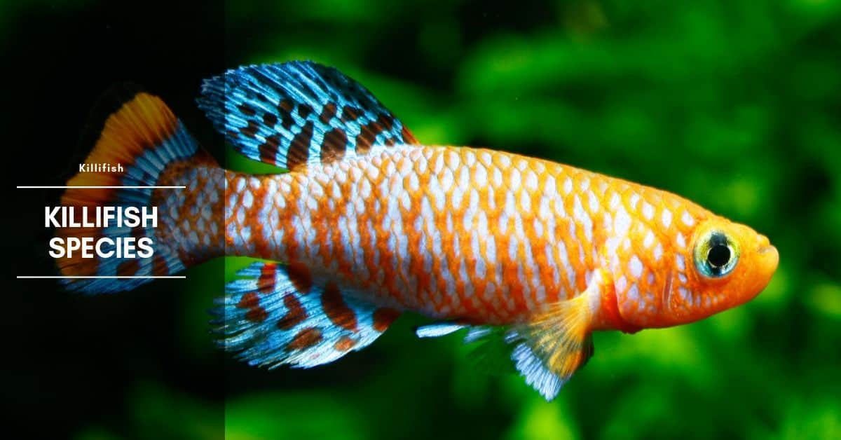 Killifish: Species, Care, Size, Breeding, Diet & Water Parameters