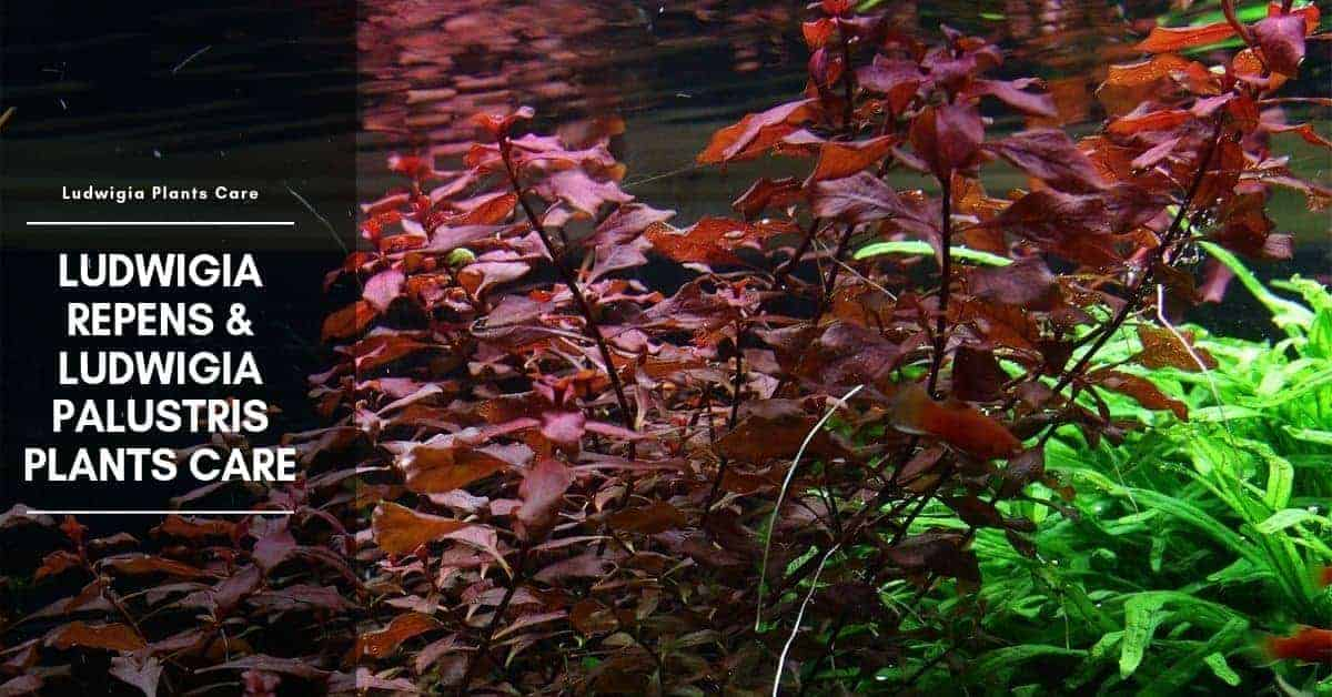 Ludwigia Palustris: Care and Types