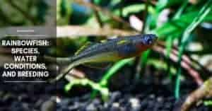 Rainbowfish: Species, Water Conditions, And Breeding