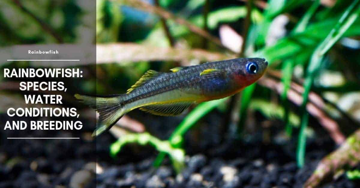 Rainbow Fish Species: Types of Small Rainbow Fish