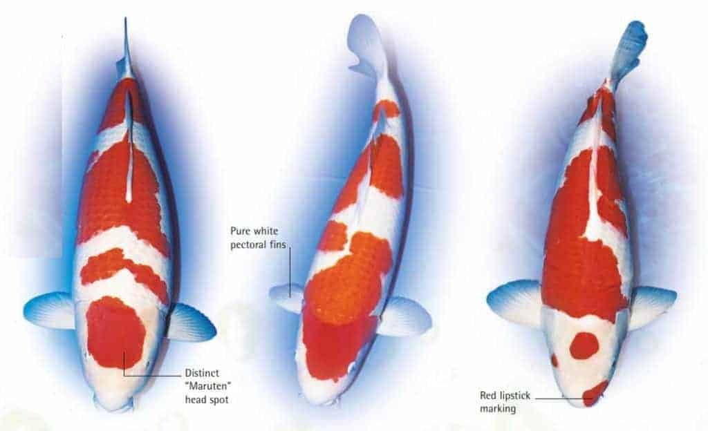 The Kohaku, with its red and white markings, is the most popular of all the varieties of Koi.