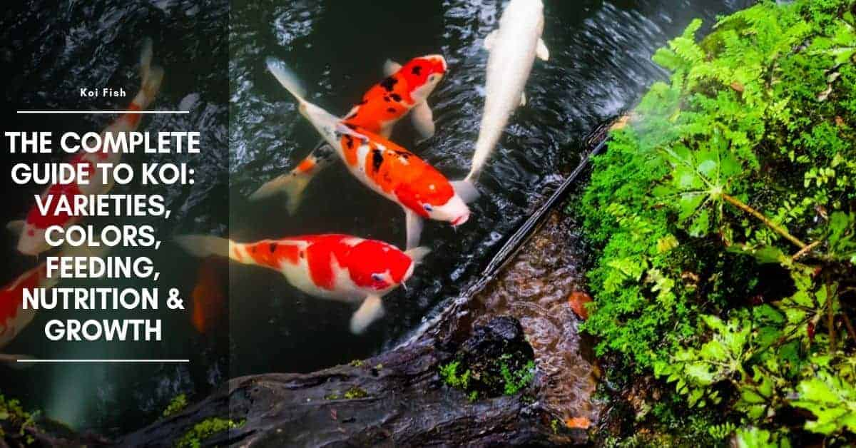 Koi Types: Varieties, Colors, Feeding, Nutrition & Growth