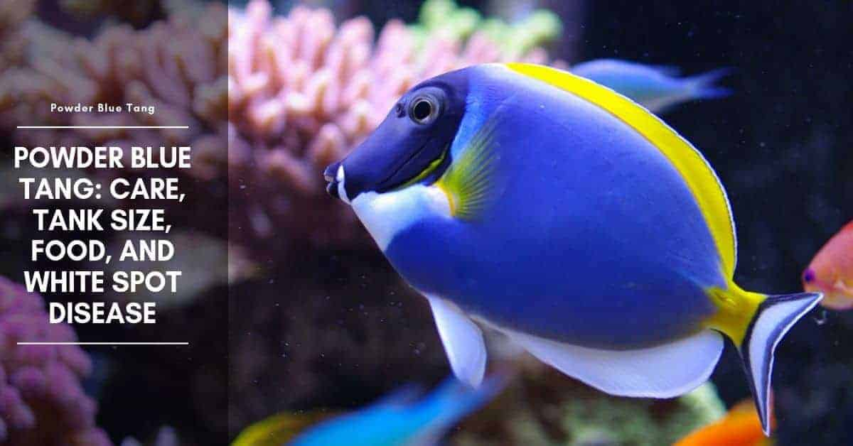 Powder Blue Tang: Care, Tank Size, Food, And White Spot Disease