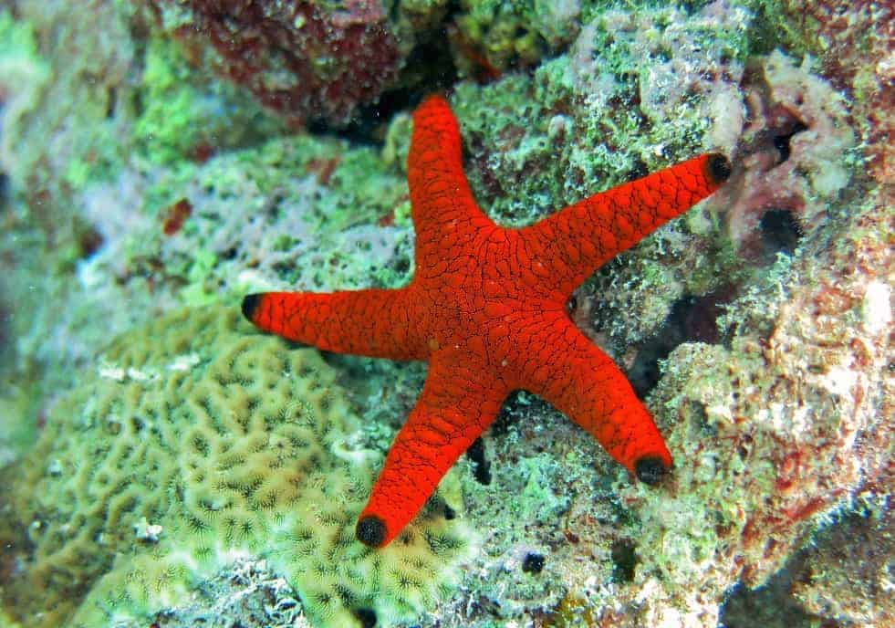 Little Red Starfish