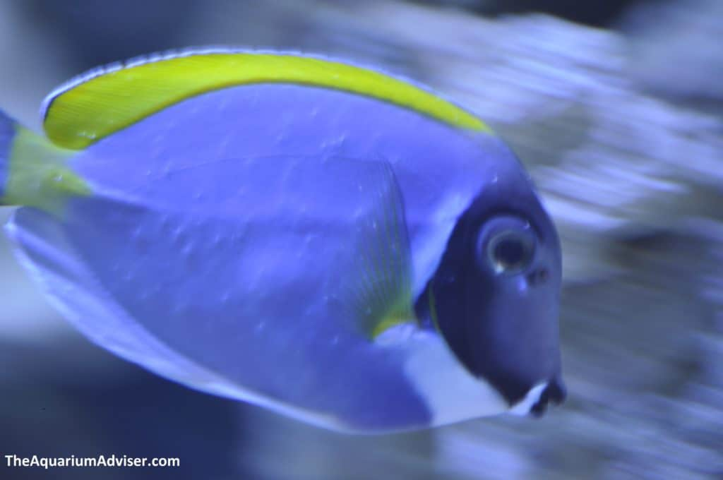 White spots on powder blue tang.