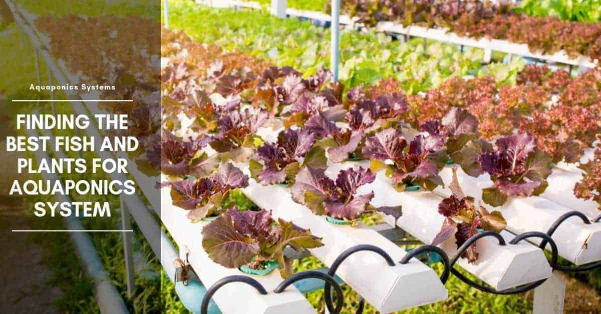Finding the Best Fish and Plants for Aquaponics System