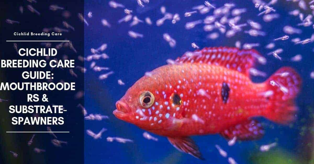 Cichlid Breeding Care Guide: Mouthbrooders & Substrate-Spawners