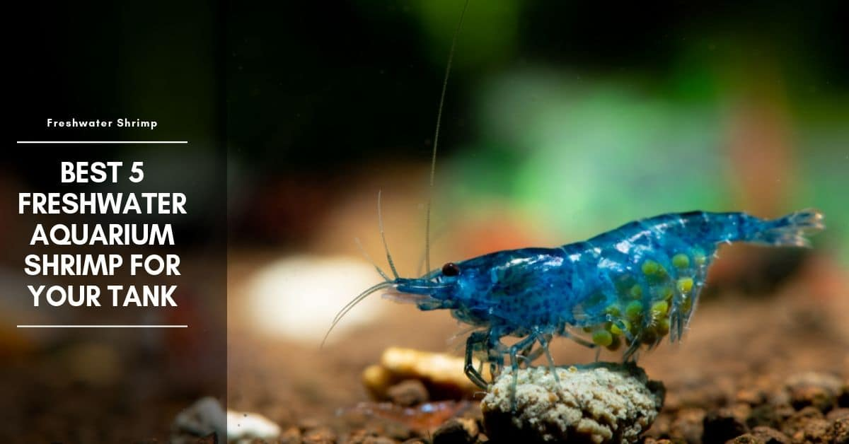 13 Freshwater Aquarium Shrimp – Best Shrimp For Your Tank