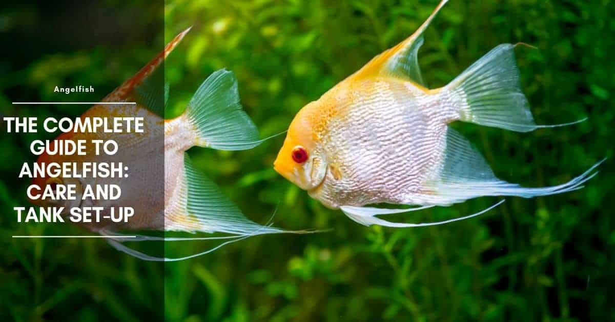 Angelfish Food - The Best Food for Angelfish