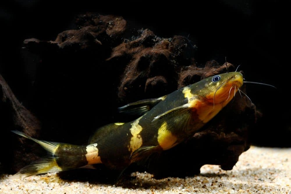 Asian Bumblebee Catfish (Pseudomystus siamensis)
