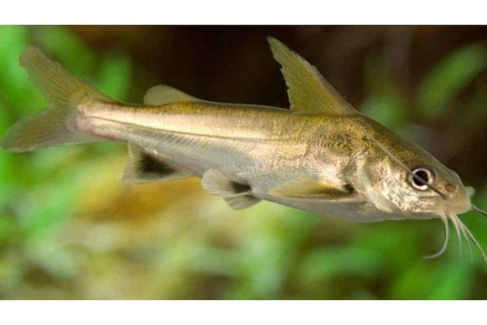 Black Fin Shark Catfish
