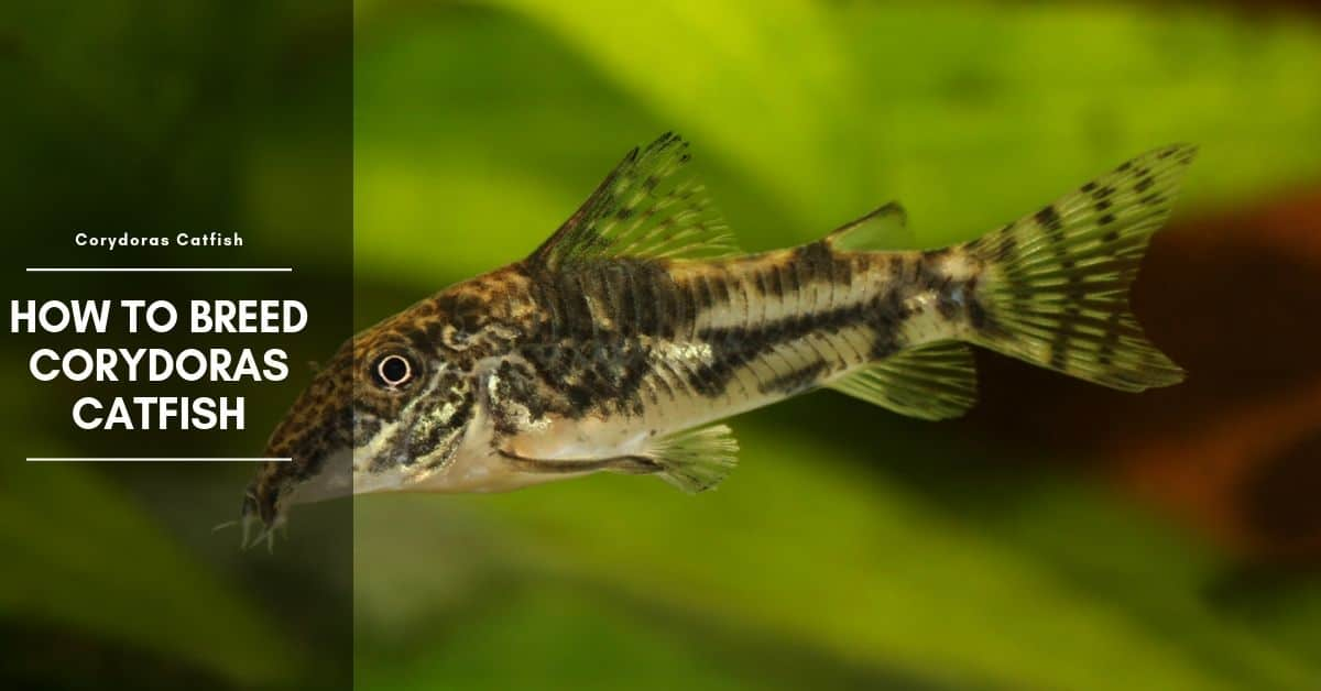 How to Breed Corydoras Catfish: Breeding Tank & Rasing Hatched Fry