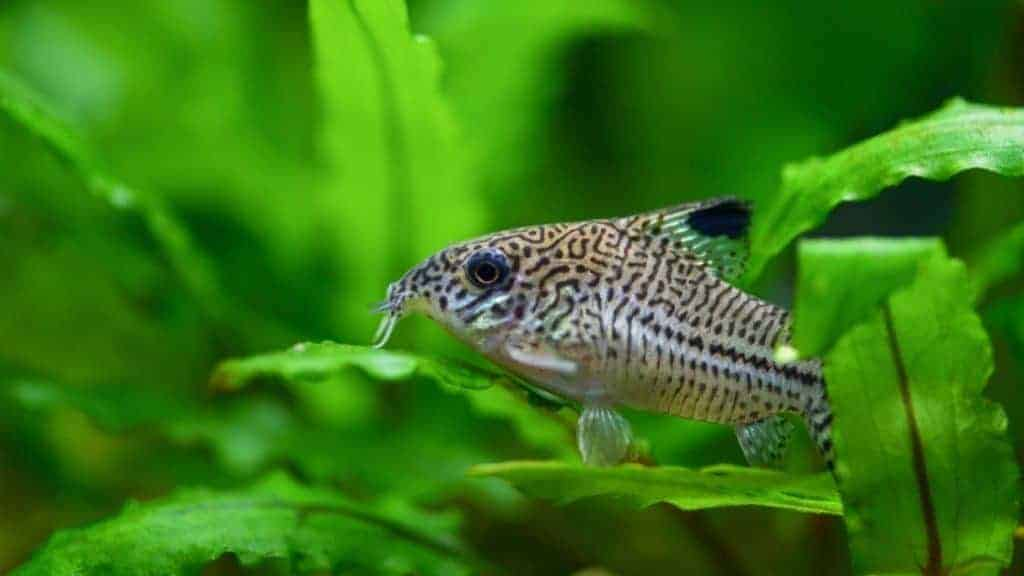 Fish Corydoras mottled, speckled Catfish sitting on the leaf of plants in the aquarium
