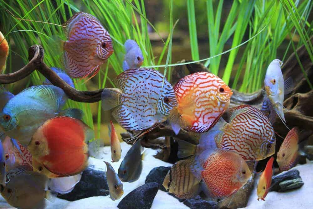 Discus Fish Various Strains
