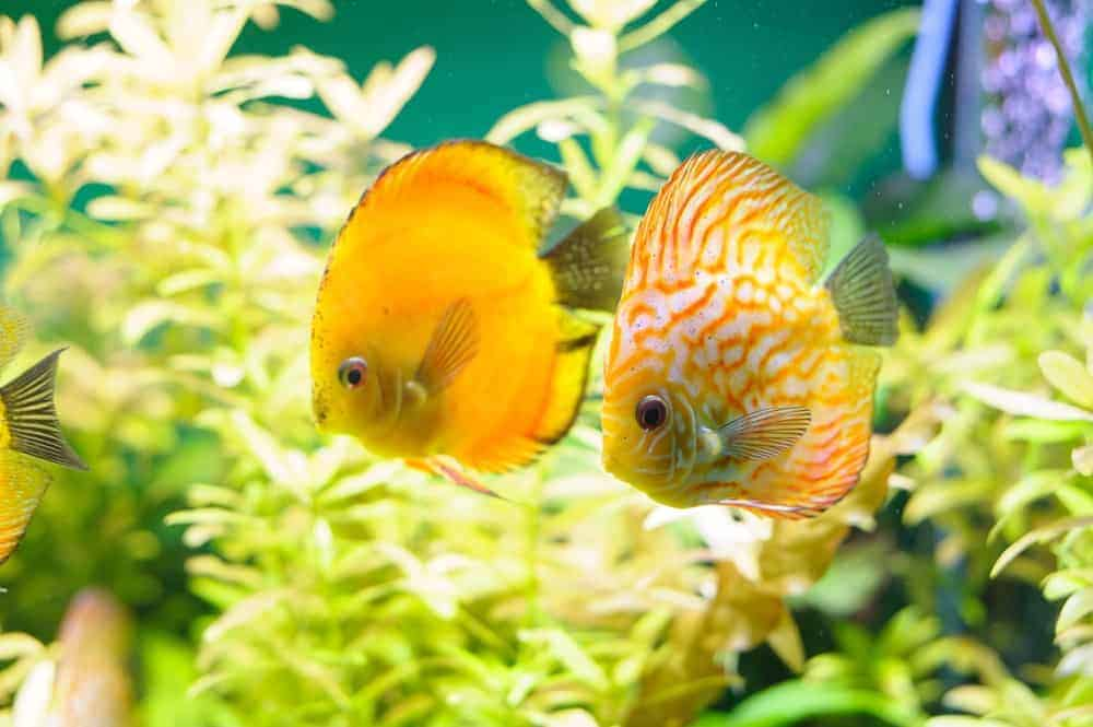 Golden Leopard Discus Fish