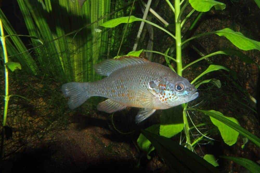 Best Coldwater Fish For Your Tank Or Pond | The Aquarium Adviser