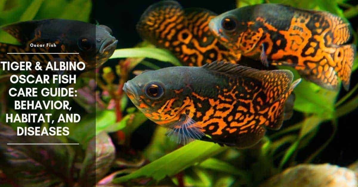 Oscar Fish Behavior, Habitat, Care and Tank Mates