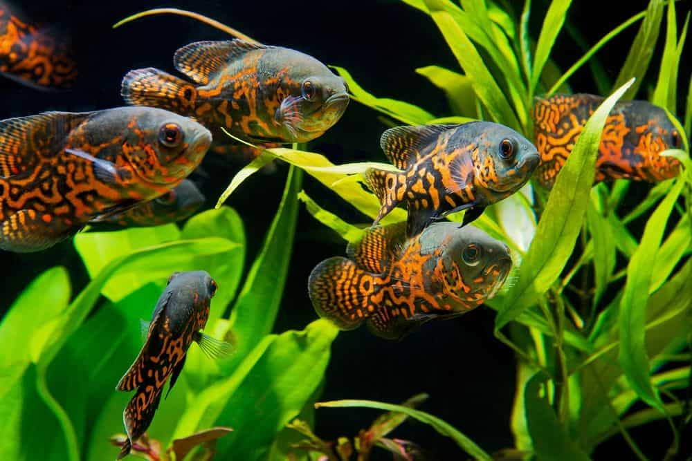 Tiger Oscar Fish Swimming in The Tank