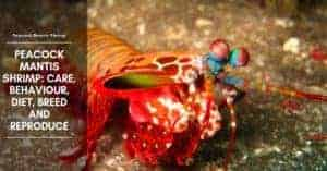 Peacock Mantis Shrimp: Care, Behaviour, Diet, Breed and Reproduce