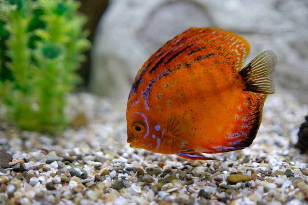 Spotted Leopard Discus Fish