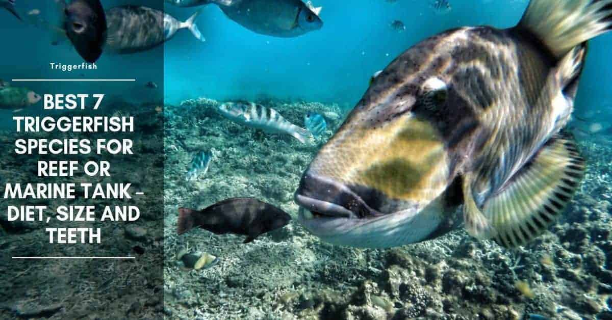 7 Types of Triggerfish and Triggerfish Teeth