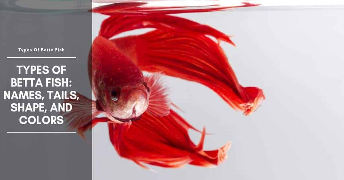 Types of Betta Fish: Names, Tail, Shape, and Color