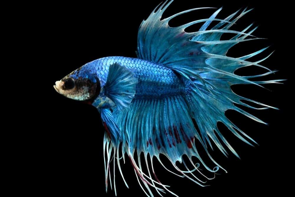 Male Crowntail Betta