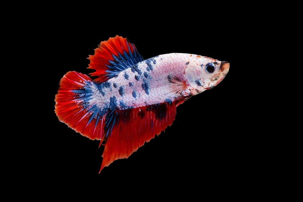 Types Of Betta Fish Names Tail Shape And Color