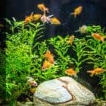 Goldfish Eggs in Tank, How to Take Care of Goldfish Eggs