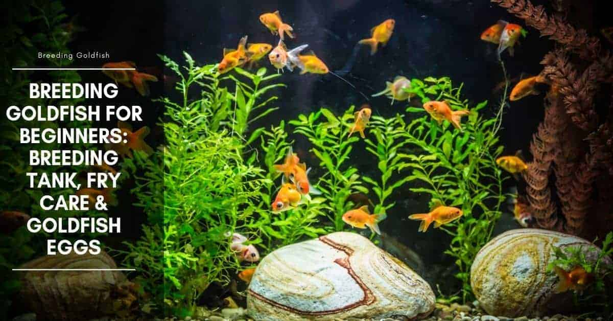 Goldfish Eggs in Tank: What to Do? and How to Take Care?