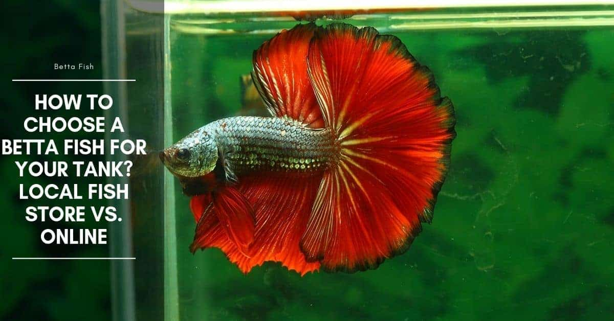 How to Choose a Betta Fish for Your Tank? Local Fish Store Vs. Online