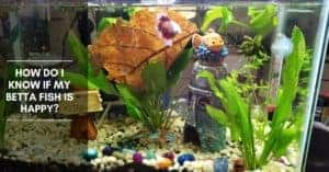 How Do I know If my Betta Fish Is Happy?