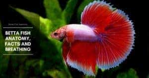 Betta Fish Anatomy, Facts and Breathing