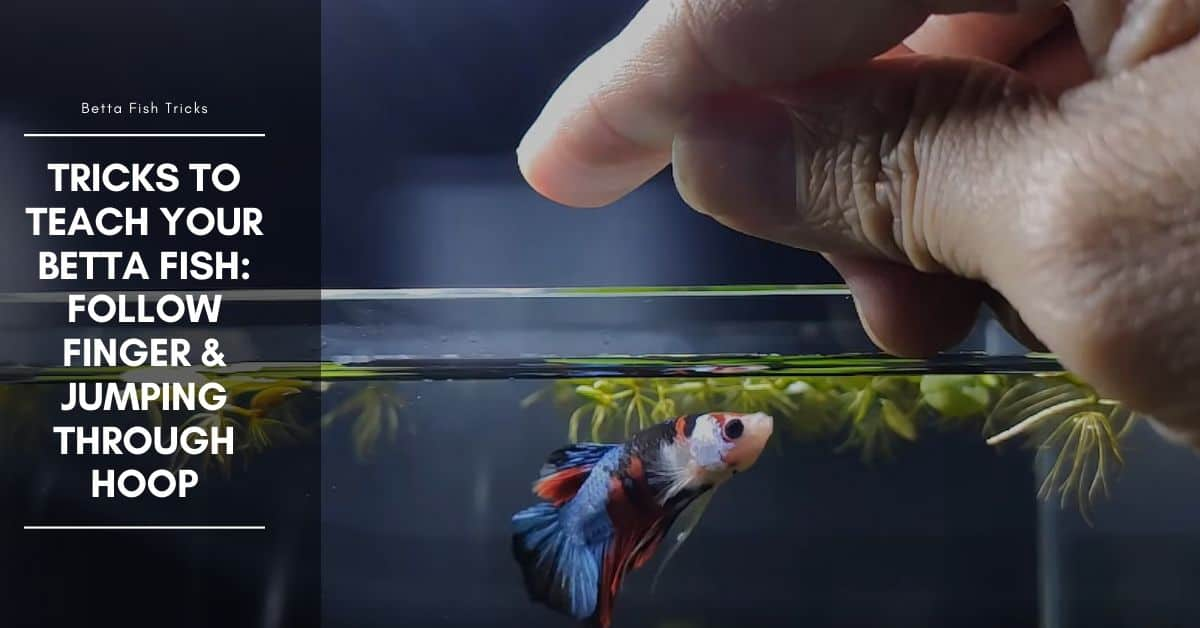 Tricks to Teach Your Betta Fish: Follow Finger & Jumping Through Hoop
