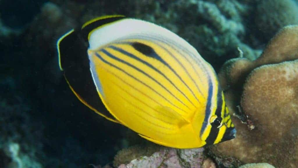 Blacktail butterflyfish eats LPS, SPS, and it has a special desire for Acropora.