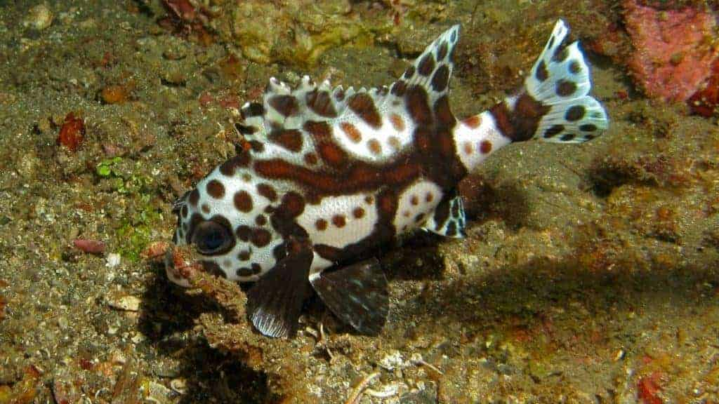Harlequin sweetlips can grow upwards of 28 inches long.