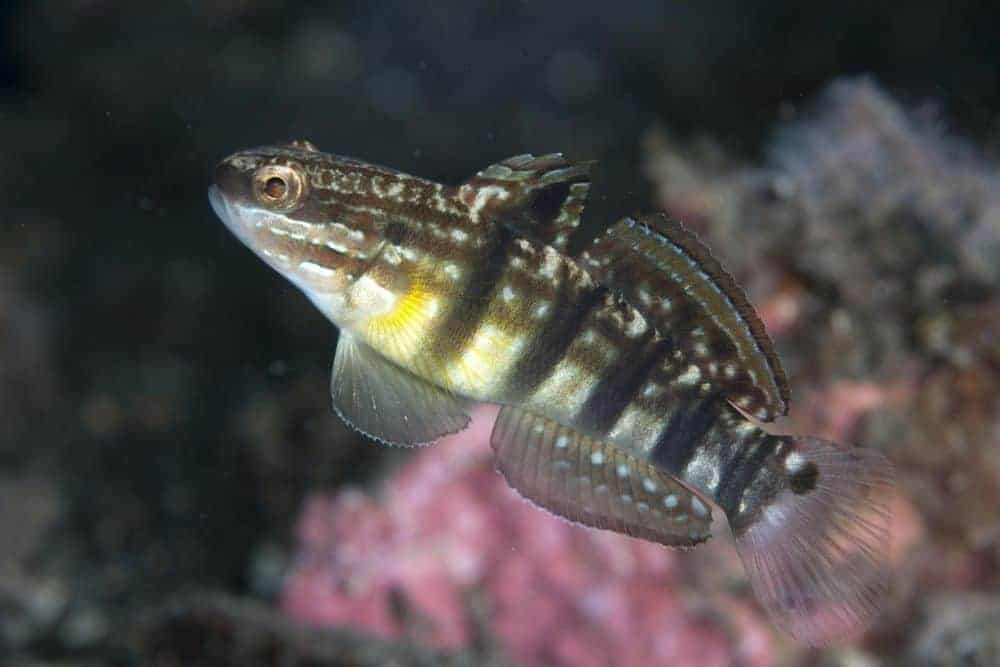 Highfin Goby