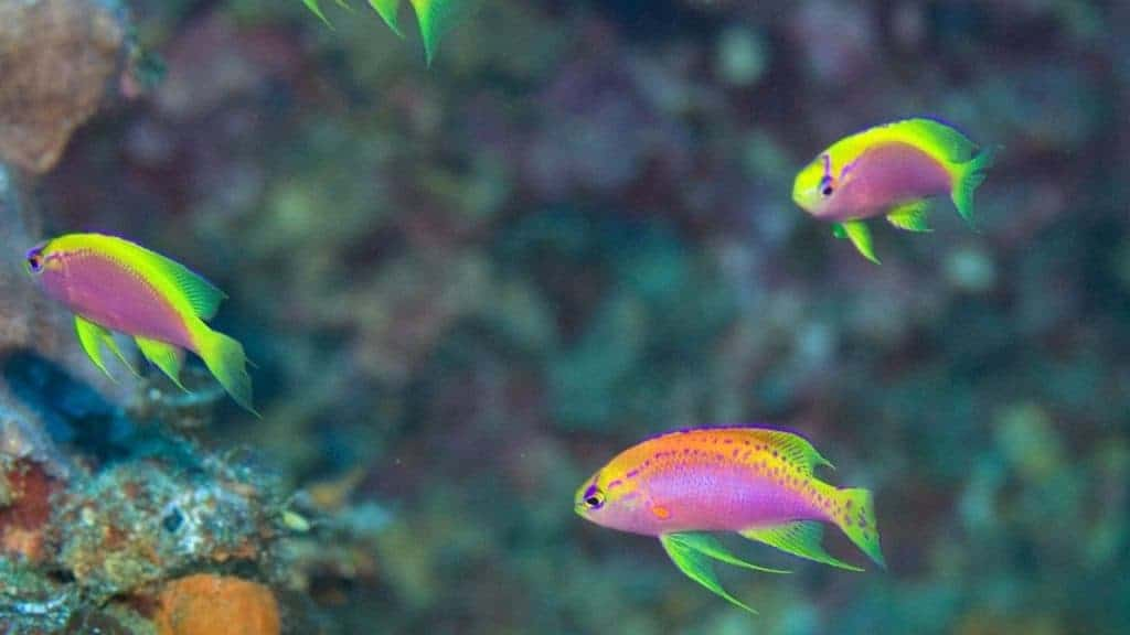 Longfin anthias is a deep water species.