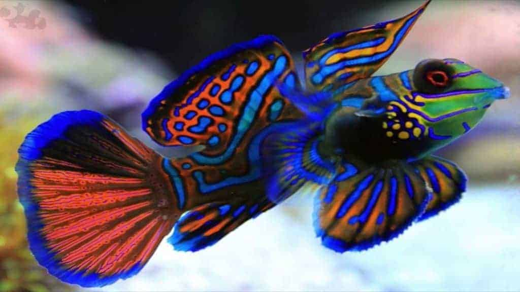 The Mandarin dragonet needs a steady population of copepods.